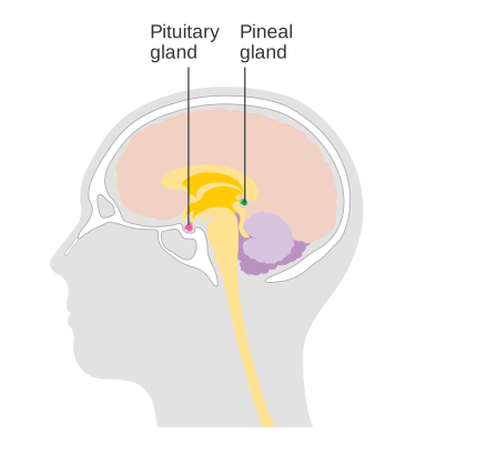 Diagram_showing_the_pineal_and_pituitary_glands_CRUK_468.svg