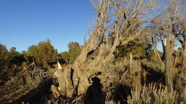 """Image: """"Archuleta County, Colorado 3: Vortex Tree,"""" by Alice B. Clagett, 28 November 2015 … CC BY-SA 4.0"""