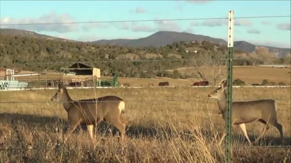"Image: ""Archuleta County, Colorado 8: Mule Deer,"" by Alice B. Clagett, 28 November 2015 … CC BY-SA 4.0"