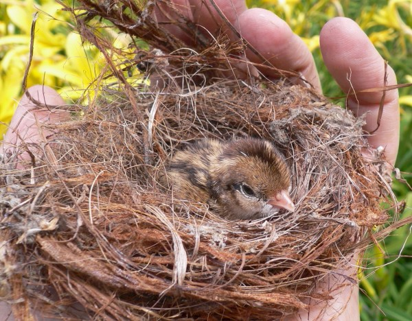 bird-in-nest
