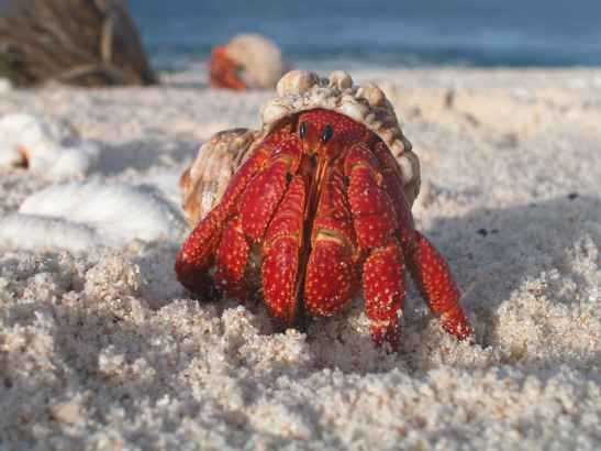 hermit_crab_emerges_from_its_shell
