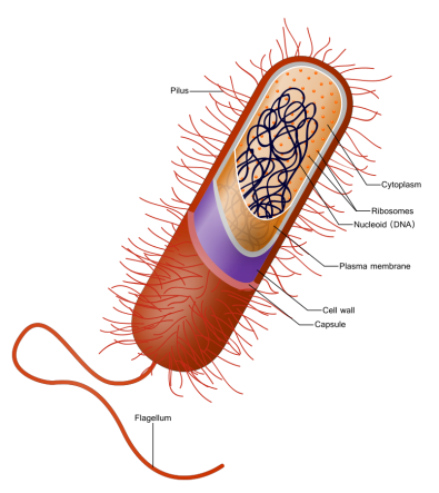 prokaryote_cell-svg